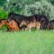 Caii din pădurea Letea, de la mit la realitate
